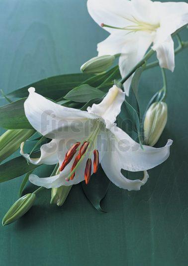 F02---Lily-2